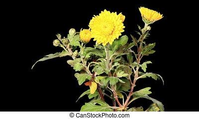 Blooming yellow chrysanthemum flower buds ALPHA matte, Full...