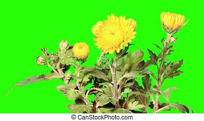 Blooming yellow chrysanthemum flower buds green screen, Full...
