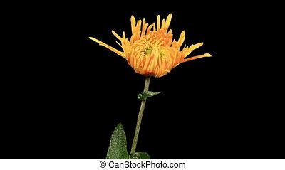 Blooming yellow chrysanthemum