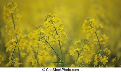Blooming yellow flowers colza in rapeseed field