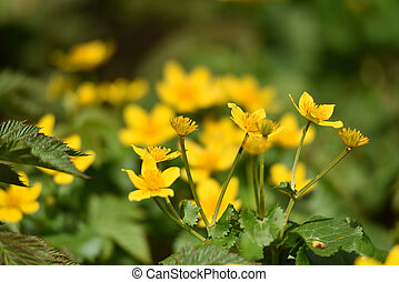 Blooming yellow flowers in the spring