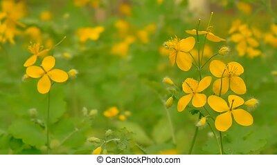blooming yellow flowers of celandine slow motion video -...