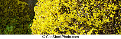 yellow Forsythia bush