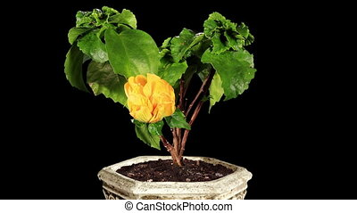 Blooming yellow Hibiscus flower