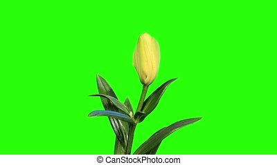 Blooming yellow lily flower buds green screen, FULL HD....
