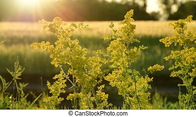 blooming yellow rape In rays of the setting sun - blooming...