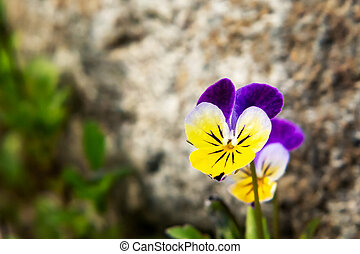 Blooming yellow violet violets perennial in rockery in the spring garden
