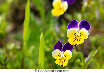 Blooming yellow-violet violets perennial in the spring garden