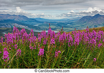 Blooming Yukon Fireweed - A cluster of blooming fireweed ...
