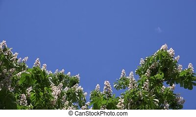 blooms of Aesculus conker tree on blue sky background. 4K