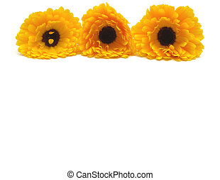 Blooms of calendula arranged in line on the top of white background