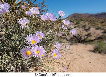 Blooms of Mojave Aster in California Desert