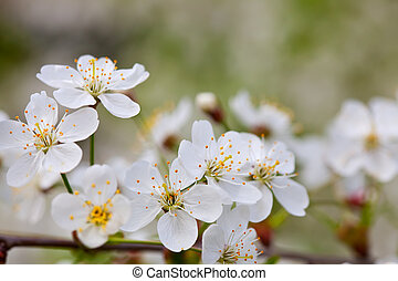 blooms tree branch in  blur background
