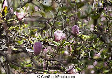 Bloomy magnolia tree with big pink flowers.