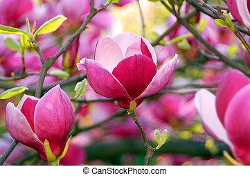 Bloomy magnolia tree with big pink flowers