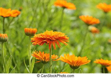 bloosom, オレンジ, ポット, -, フィールド, officinalis, calendula, マリーゴールド