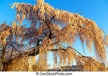 blosoming, árbol, cereza