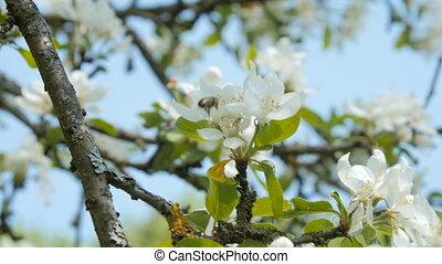 blossom., дерево, яблоко, пчела