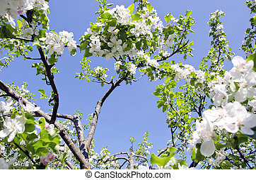 blossom apple tree branch on background blue sky