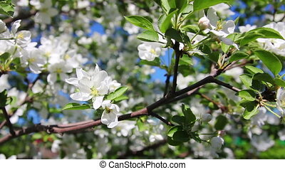Blossom apple tree branches close-up