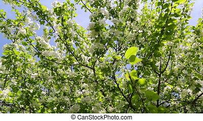 blossom apple tree branches - slider dolly shot