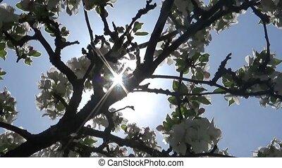 Blossom apple tree flowers springtime sun haze view
