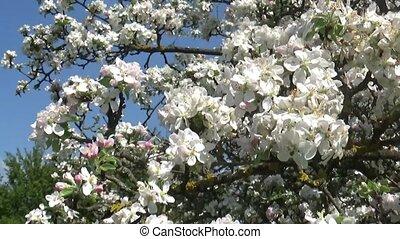 Blossom apple tree flowers springtime view