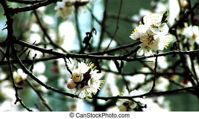 blossom apricot