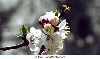 blossom apricot - close-up blossoming apricot-tree