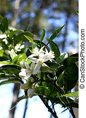Blossom at orange-tree