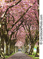 Blossom Avenue, Edinburgh - An avenue of blossom trees in...