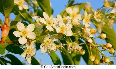 blossom bird cherry tree flowers