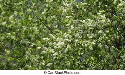 Blossom bird cherry trees wind swaying spring