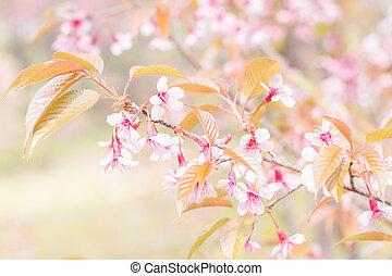 blossom , bloeien, sakura, mai, chiang, thailand, bloemen