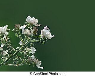 Blossom - Bramble blossom