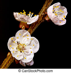 blossom cherry flower