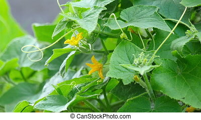 Blossom cucumber - Blooming cucumber on a sunny day,...