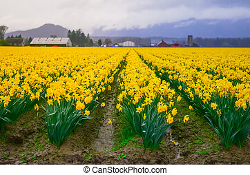 Blossom daffodil field in farmland background in Skagit Valley, Washington, America