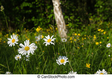 Blossom daisies in a green landscape