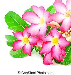 Impala Lily - Blossom flower, Desert Rose-Impala Lily- Mock ...