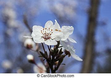 BLOSSOM Flower ,hdr