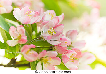 Blossom from Crab apple tree in spring