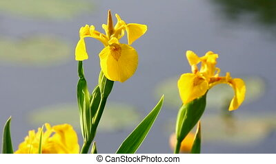 blossom irises on lake