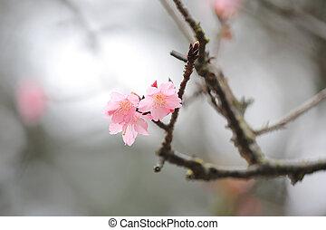 blossom , kers, cheung, chau