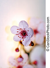 blossom , kersenboom