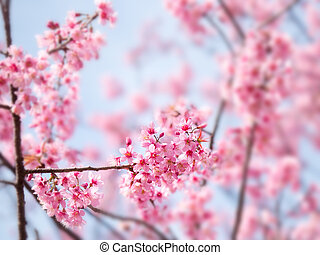 blossom , lente, sakura, kers