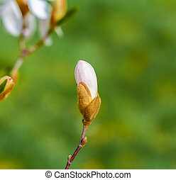 blossom Magnolia flower in nature