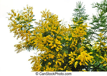 Blossom mimosa on a white background