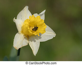 Blossom of a daffodil on a sunny day in spring