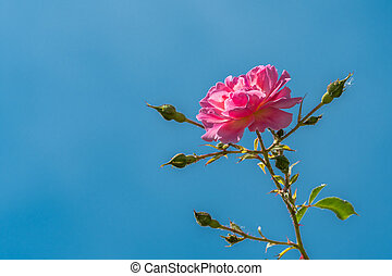 Blossom of a pink rose on a sunny day in summer